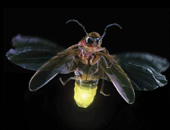 fireflies are glowing accent on natural landscaping inc